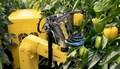 SWEEPER - robot zbierający paprykę
